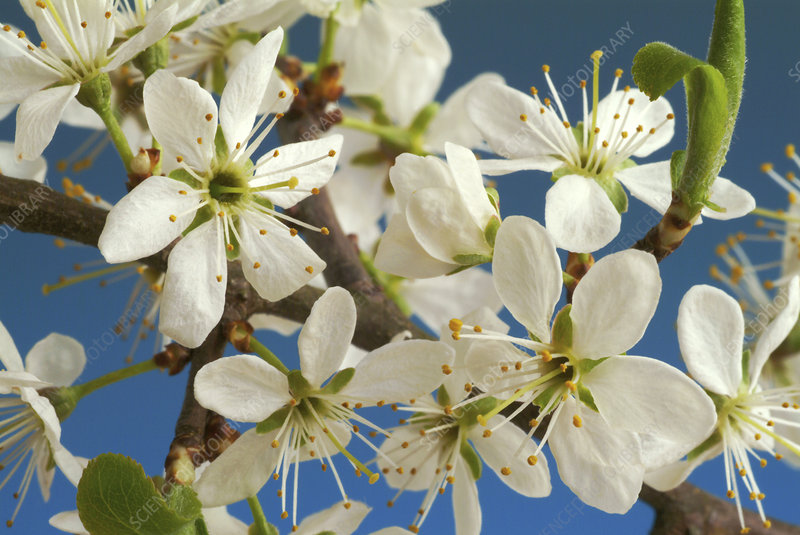 Blackthorn flowers (Prunus spinosa)