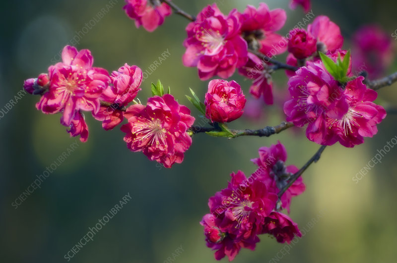 Peach blossom (Prunus sp.)