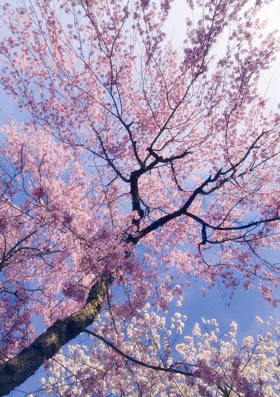 yoshino cherry tree pictures. Yoshino cherry (Prunus x