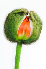 Poppy bud (Papaver sp.)