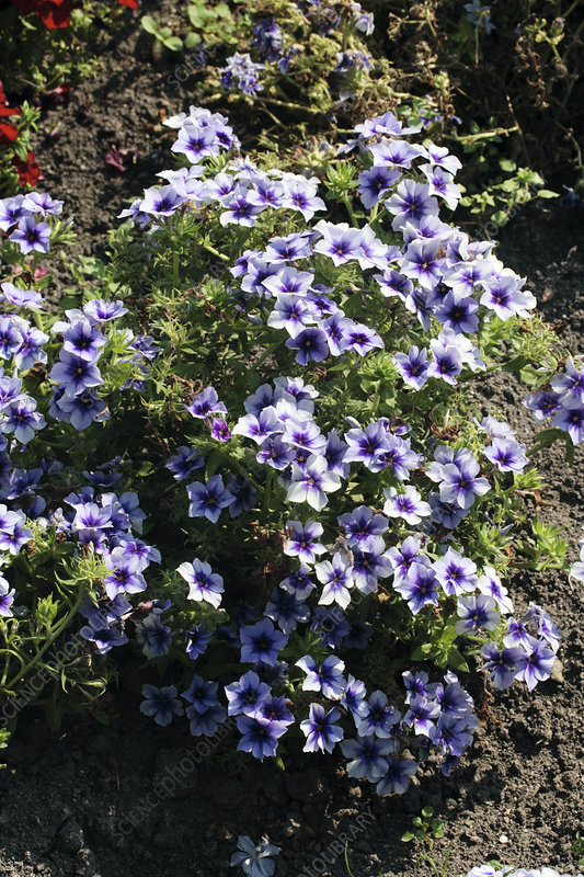 Annual phlox (Phlox 'Dolly Blue')