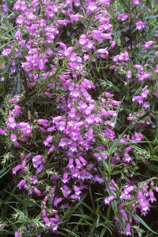 Penstemon (Penstemon 'Papal Purple')