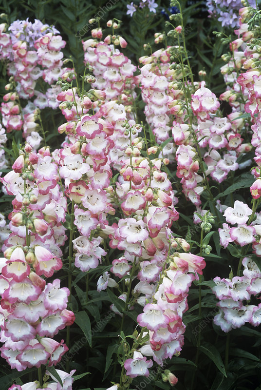 Penstemon 'Osprey'