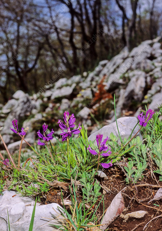 Milkwort (Polygala major)