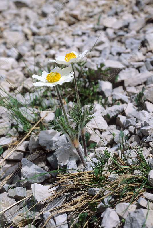 Alpine pasqueflower