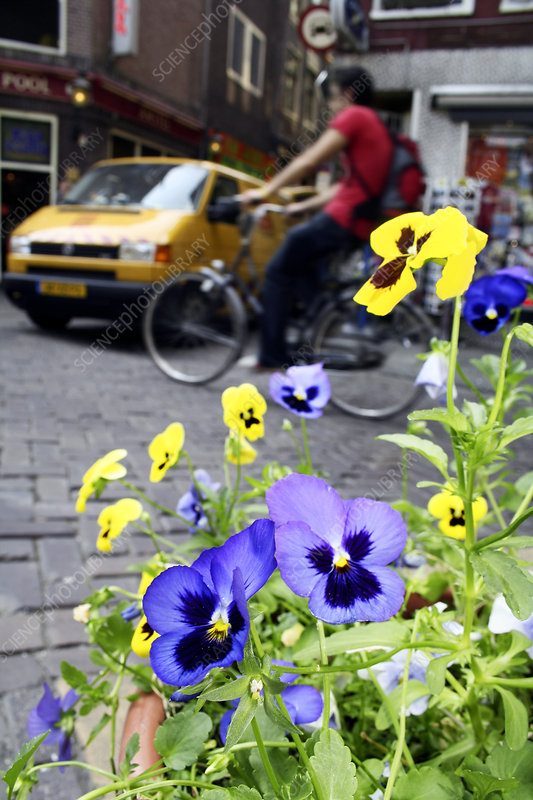 Pansies in an urban garden