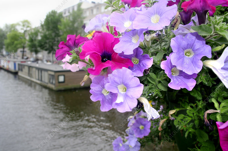 Petunia flowers over a canal
