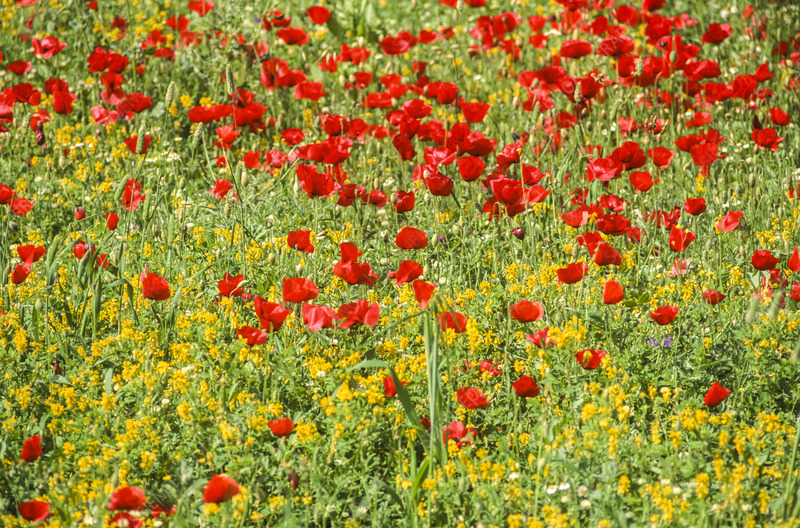 Long-headed poppies (Papaver dubium)