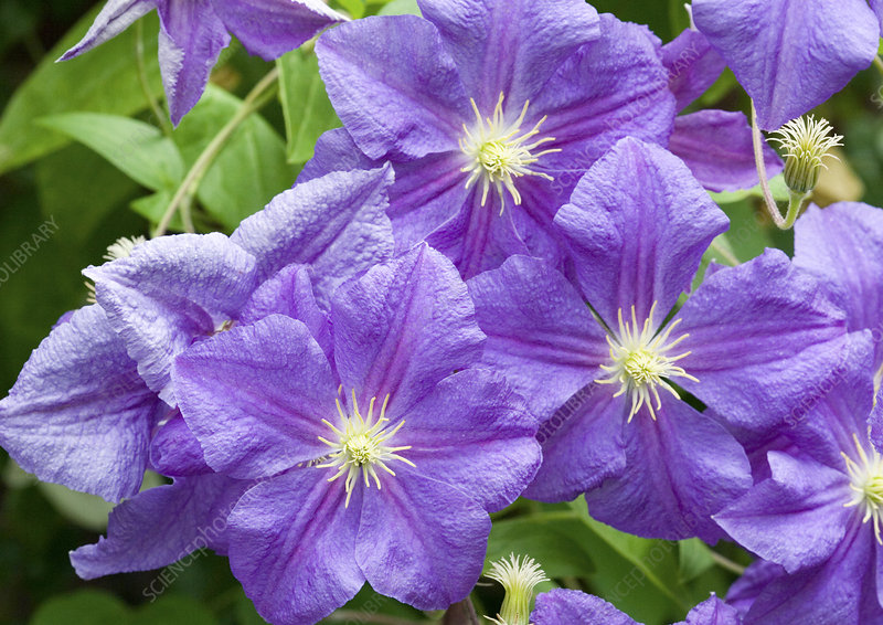 Clematis (Perl d'azur)