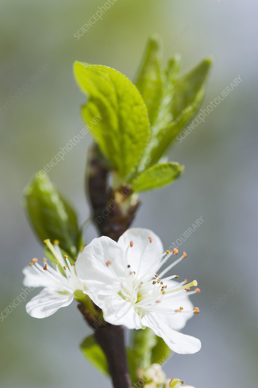 Plum blossom (Prunus sp)