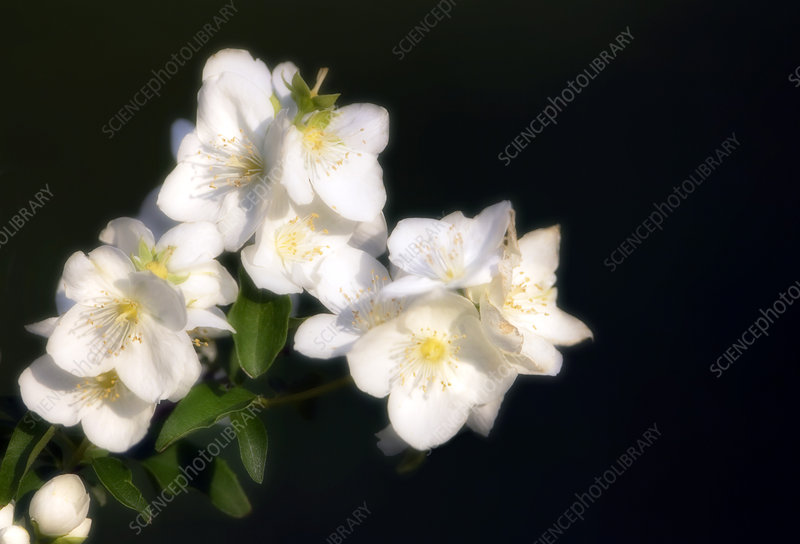 Mock orange (Philadelphus coronarius)