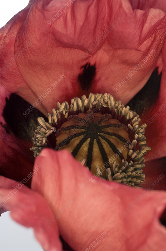 Poppy (Papaver sp.)