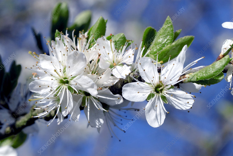 Cherry blossom (Prunus sp.)