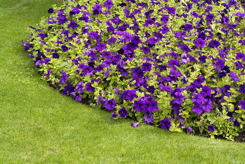 Petunia 'Surfinia Giant Purple'