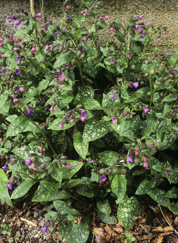 Lungwort (Pulmonaria 'Mrs Moon')
