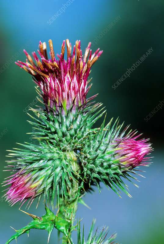 Thistle (Ptilostemon strictus)