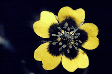 Sulphur cinquefoil in UV light