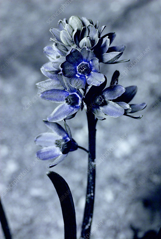 Striped squill in UV light