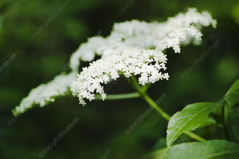 Elder flowers (Sambucus sp.)