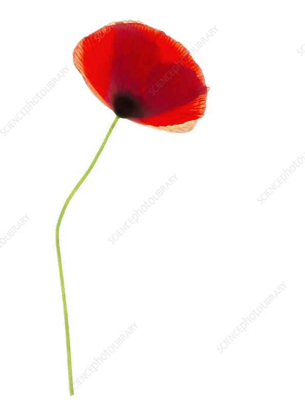 Poppy flower (Papaver sp.)