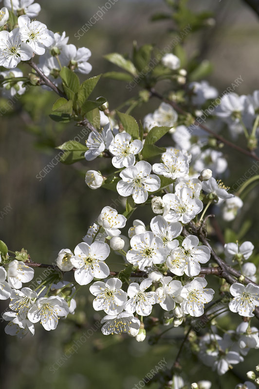 Cherry blossom (Prunus morello)