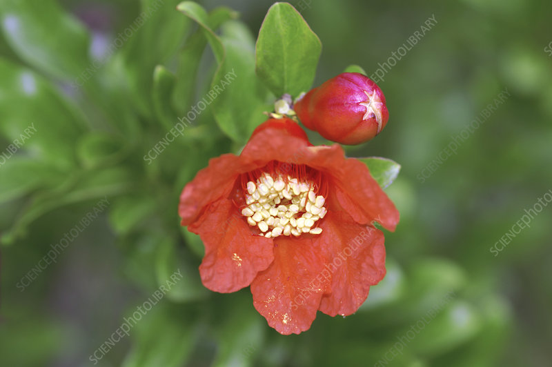 Pomegranate flower (Punica granatum)