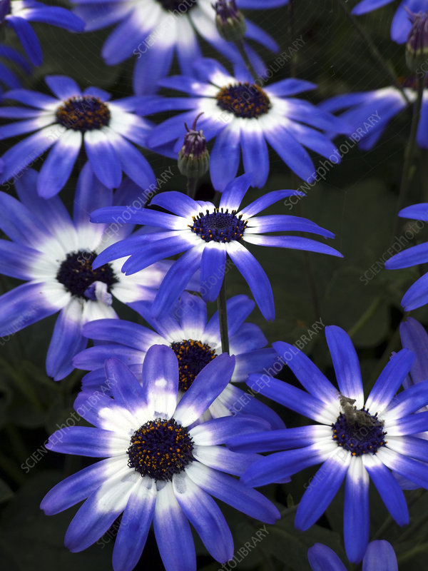 Pericallis 'Senetti Blue Bi-color'