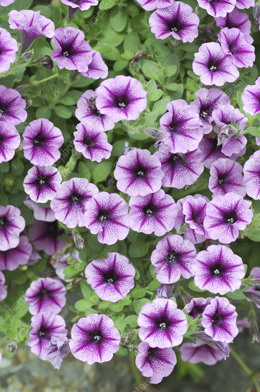 Petunia x hybrida 'Strawberry Sundae'