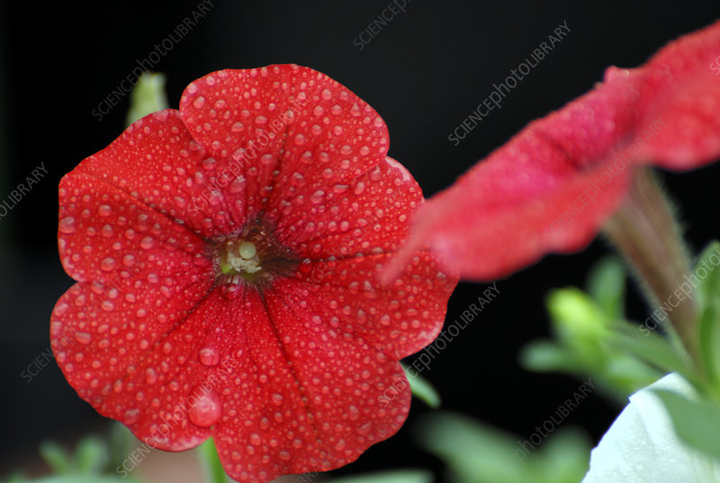 Petunia 'Surfinia Easy Wave Red'