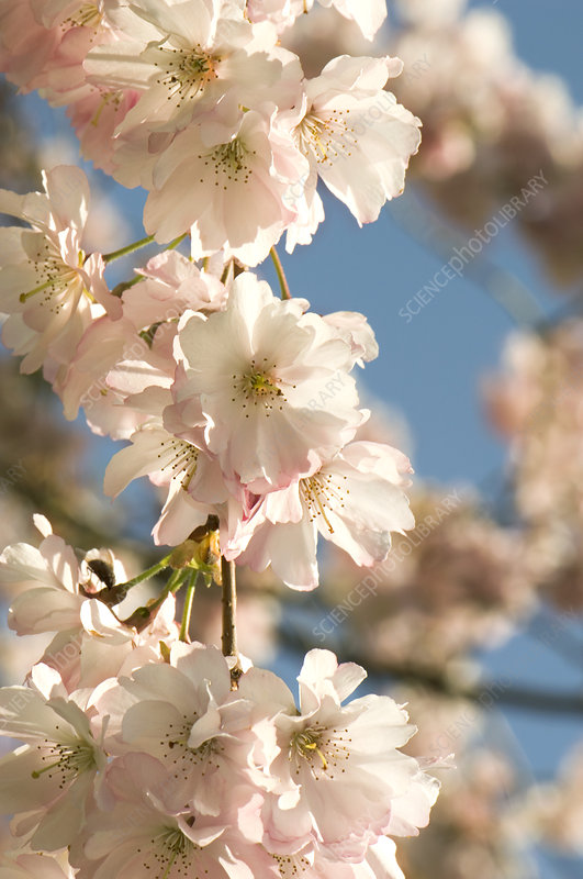 Cherry blossom (Prunus 'Accolade')