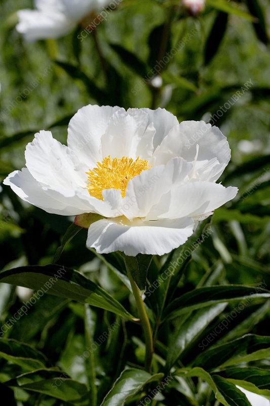 Sams Credit Login >> Peony (Paeonia lactiflora 'White Wings') - Stock Image B830/3585 - Science Photo Library