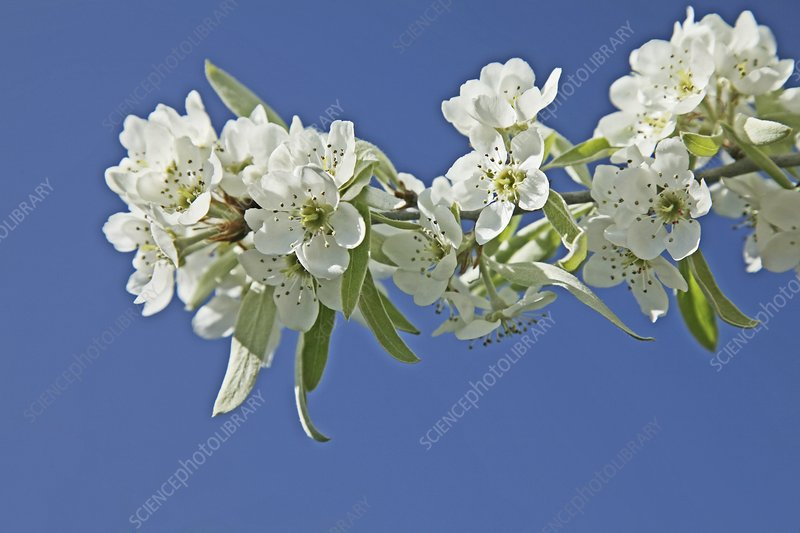 Weeping pear blossom (Pyrus salicifolia)