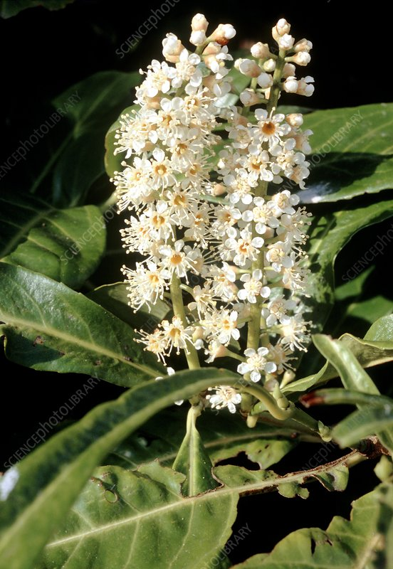 Cherry laurel (Prunus laurocerasus)