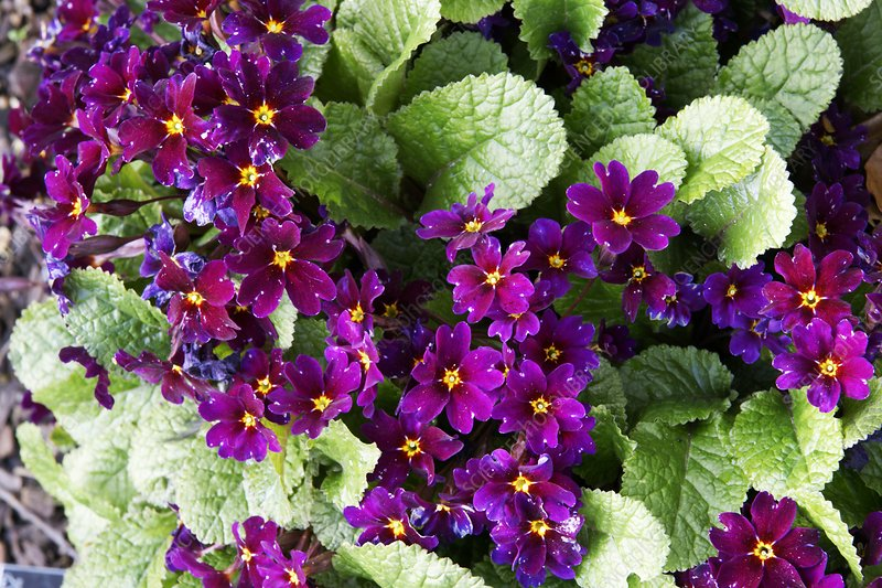 Primula pruhonicensis 'Old Port'