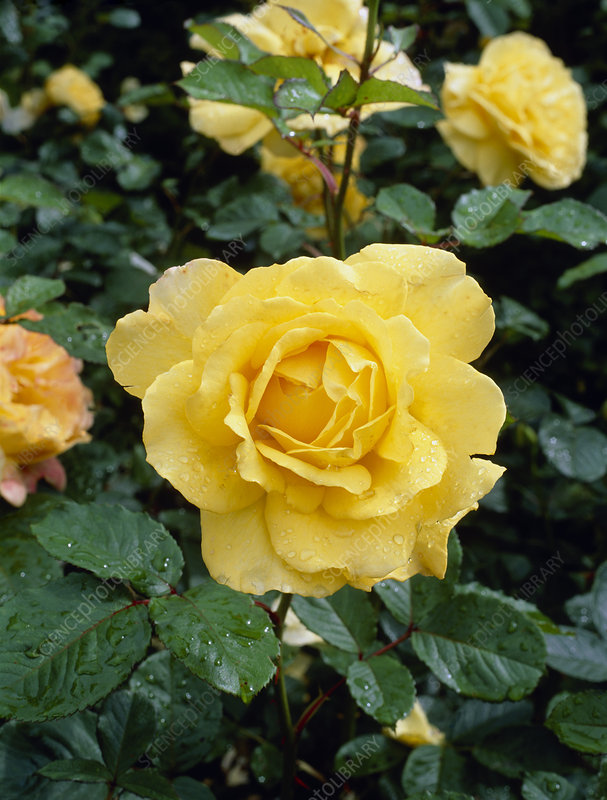 Rosa Mountbatten syn Harmantelle