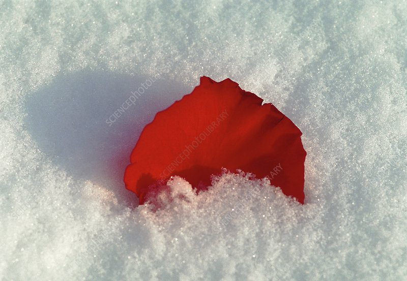 Red rose petal in snow