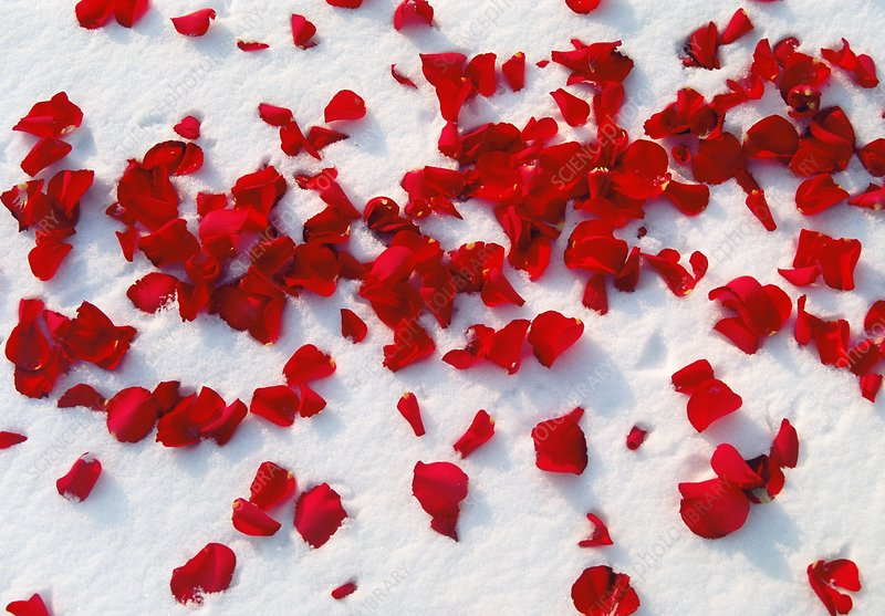 Red rose petals in snow
