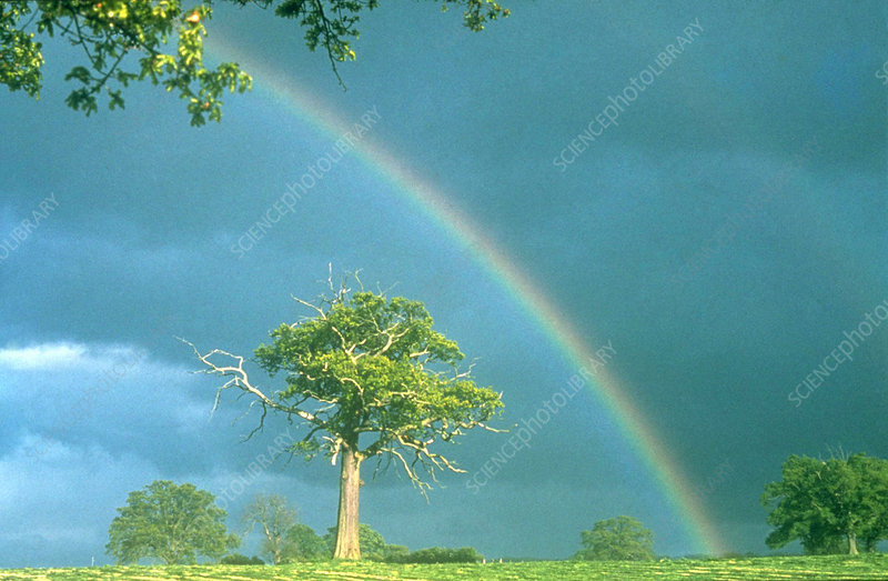 Rainbow over ancient Oak