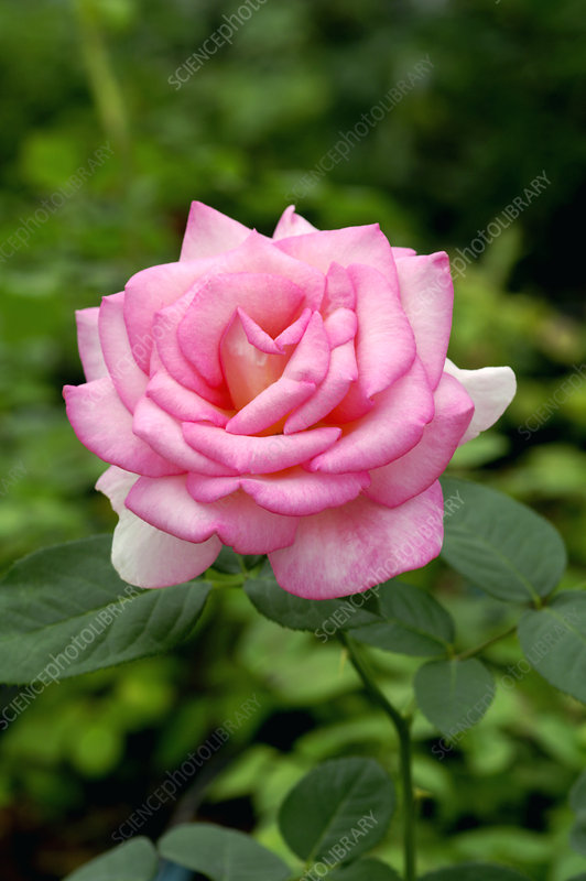 Rose 'Andre Eve'