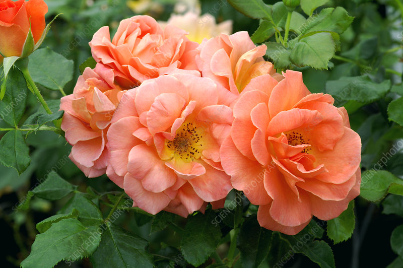 Rose 'Betty Harkness'
