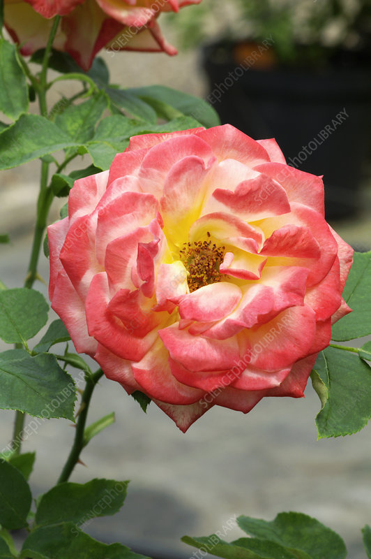 Rose 'Chacok'