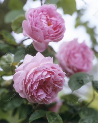 Roses (Rosa 'Constance Spry')