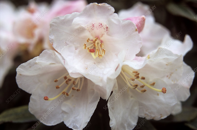 Rhododendron 'Pseudochrysanthum' flowers