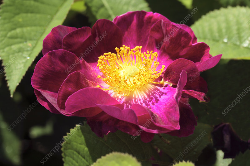 French rose (Rosa gallica)