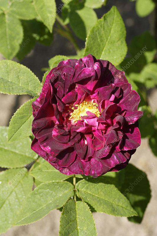 rose rosa 39 charles de mills 39 stock image b834 2335. Black Bedroom Furniture Sets. Home Design Ideas