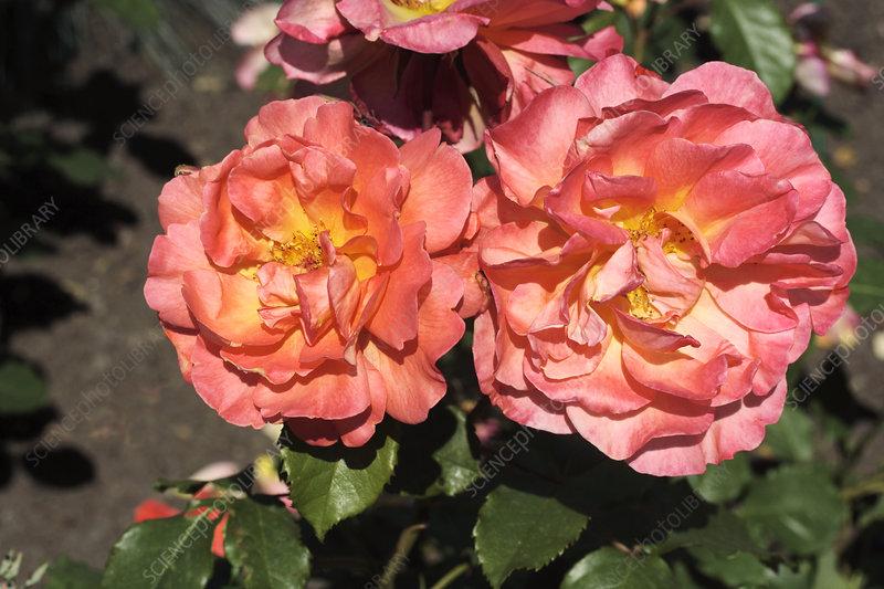 rose rosa 39 westerland 39 stock image b834 2347 science. Black Bedroom Furniture Sets. Home Design Ideas