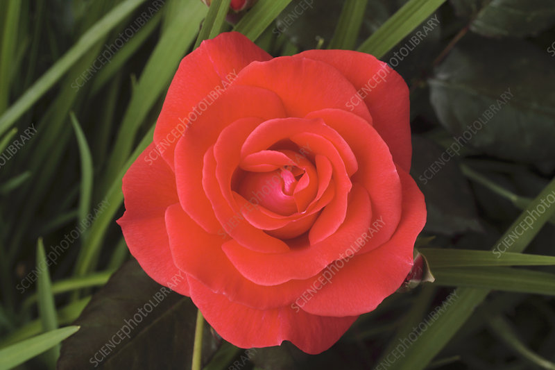 Rose (Rosa 'Piccolo')