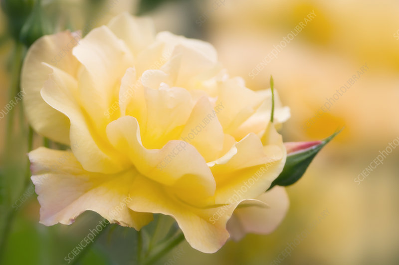 Yellow rose (Rosa hybrid)