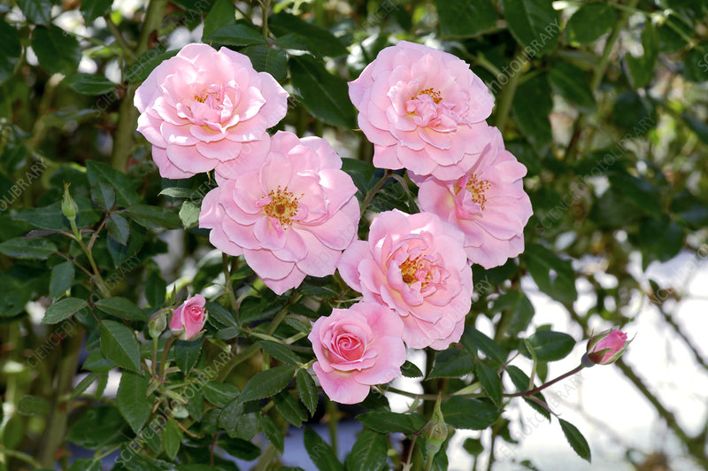 Climbing rose (Rosa 'Chew Pearl')