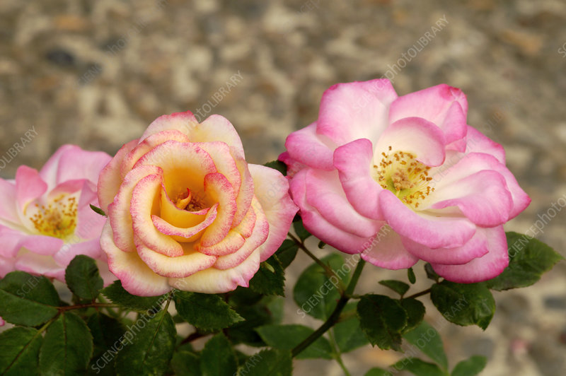 Miniature rose (Rosa 'Douce Symphonie')